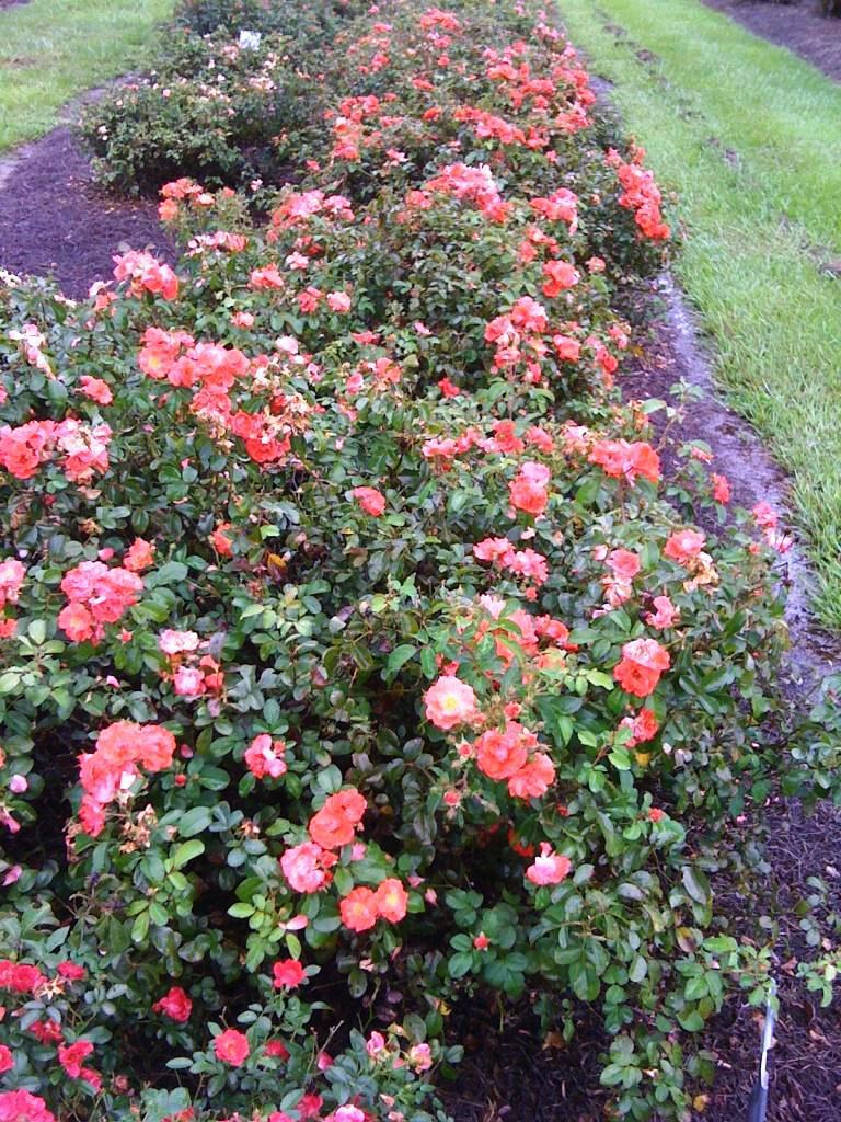 Drift Rose Selected As Louisiana Super Plant Bossier