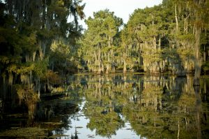 Many_Cypress_Trees_at_Lake_Bistineau_State_Park