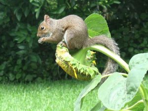 SquirrelonSunflower