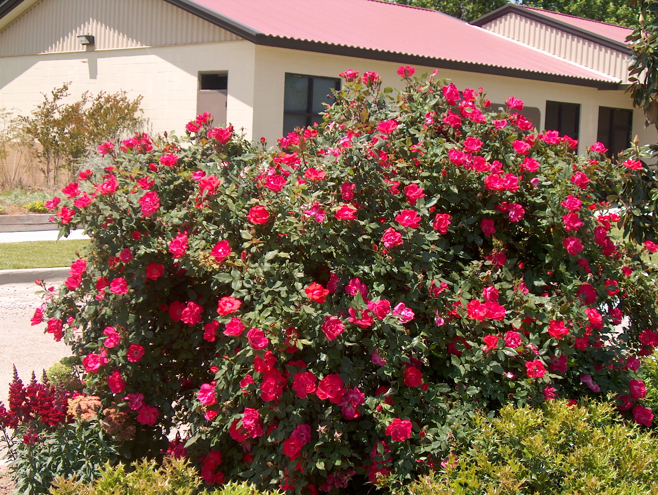 Get it growing now is the time to plant roses bossier press tribune - When to plant roses ...