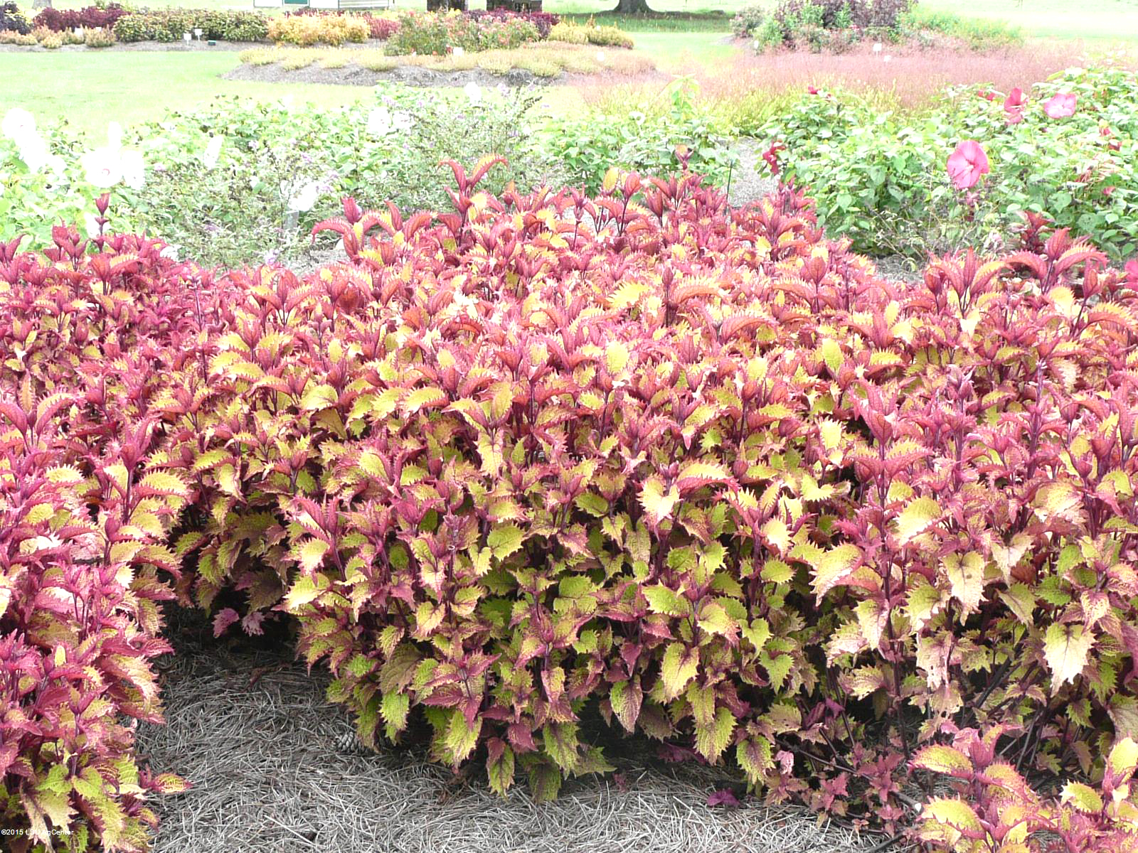 Get It Growing Henna Coleus Is A Super Plant Bossier Press Tribune