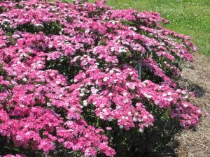 Planted now, dianthus will provide flowers in your gardens for five or six months from now through spring. (Photo by Dan Gill, LSU AgCenter)