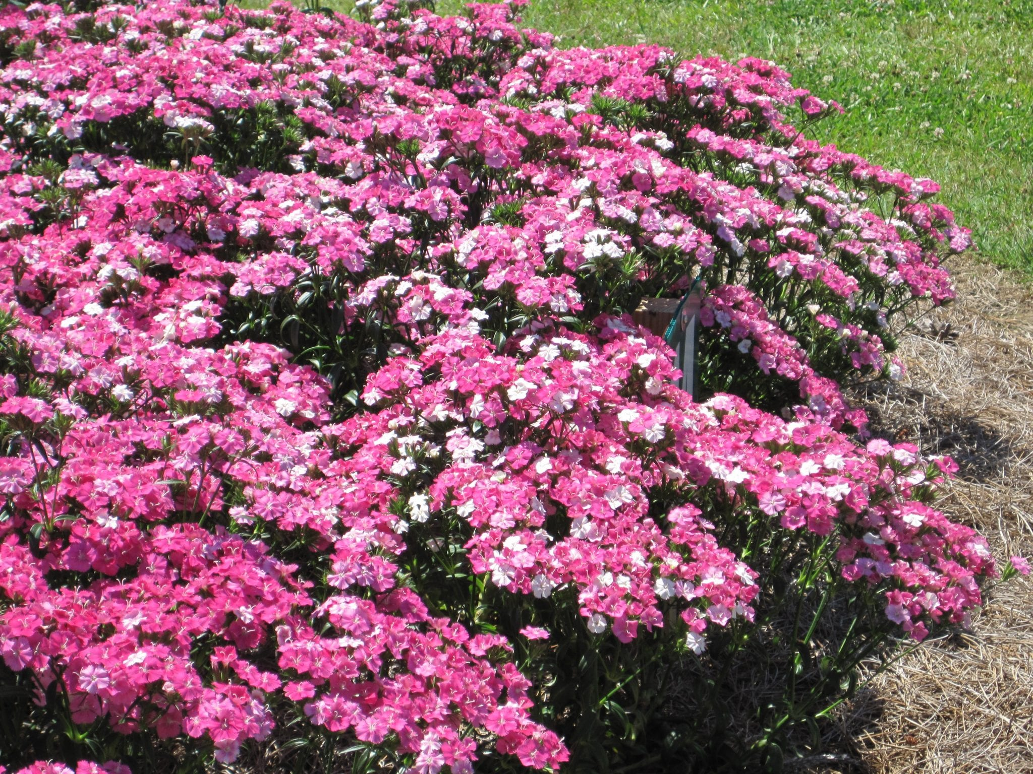 Get it growing its time to plant cool season flowers bossier planted now dianthus will provide flowers in your gardens for five or six months from mightylinksfo