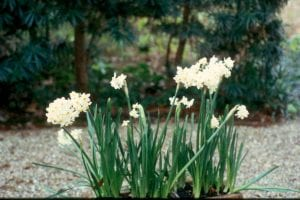 Paperwhites are easily forced for indoor enjoyment during the cold of winter. (Photo by Dan Gill, LSU AgCenter)