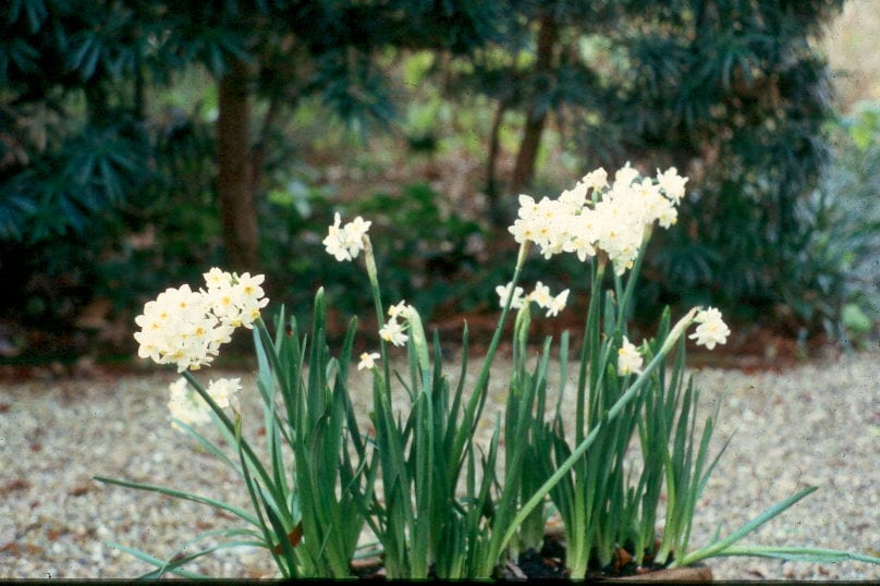 Get It Growing Forcing Amaryllis And Paperwhite Bulbs Bossier