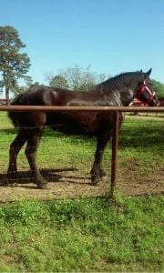 Courtesy Photo | A photo of a horse owned by BSO Deputy Thomas Delrie that looks like the one that will be pulling the hearse for the funerals for two slain Dallas police officers.