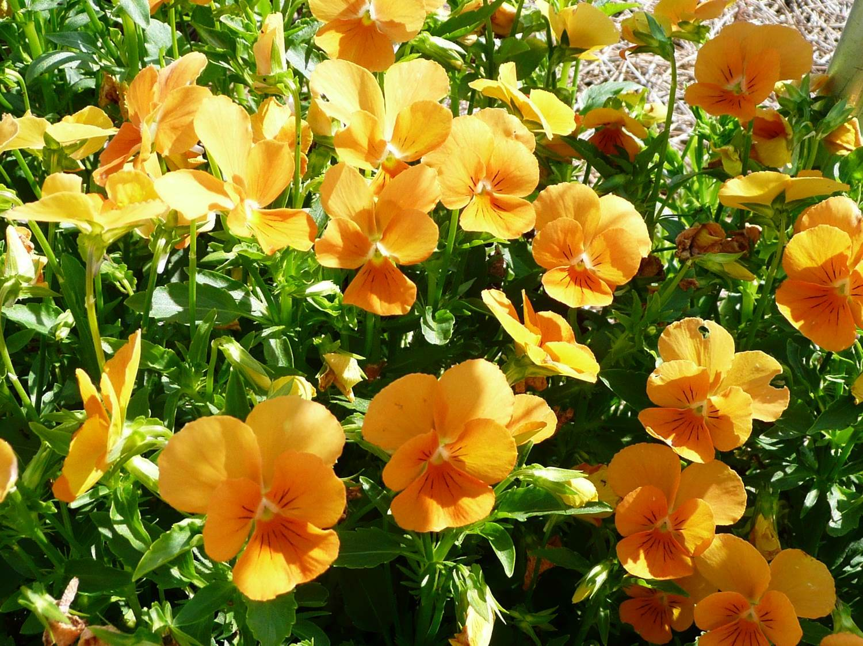 get it growing pansies violas make ideal winter flower