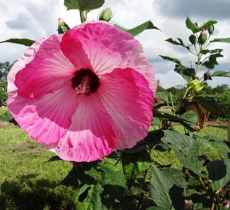 How About A Hardy Hibiscus Bossier Press Tribune