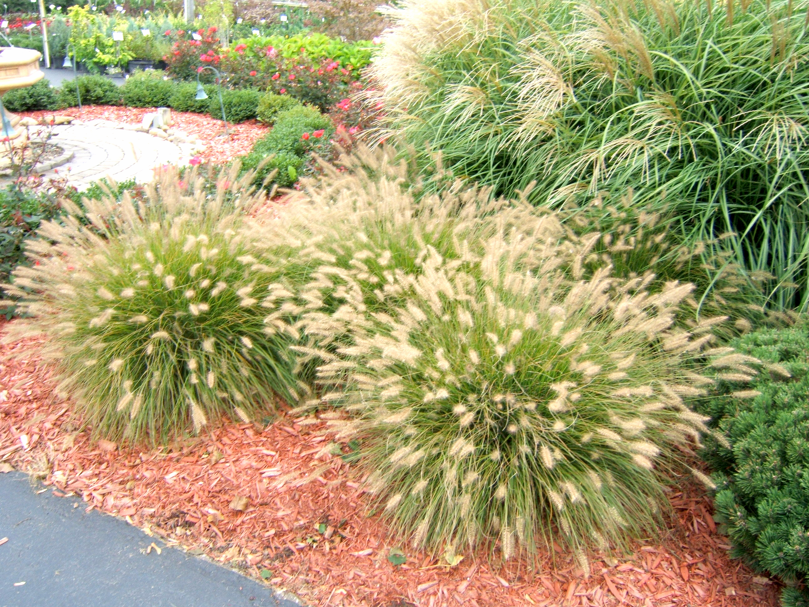 Get it growing ornamental grass adds beauty with minimum for Ornamental landscaping