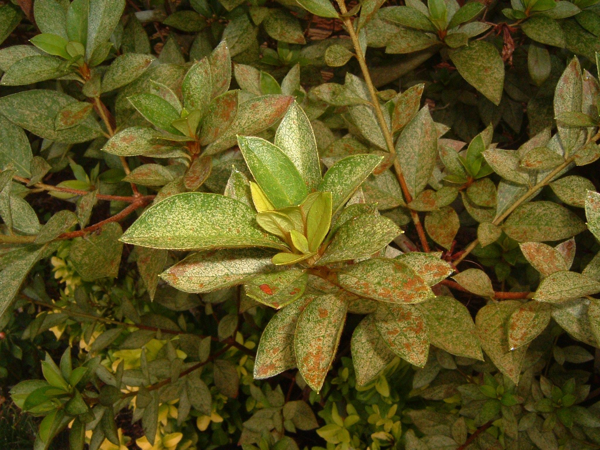 Garden Pests and Diseases: Azalea problems, 1 by HenBar |Azalea Diseases